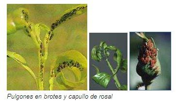 Pulgones y mosquita blanca - Pulgon en plantas ...